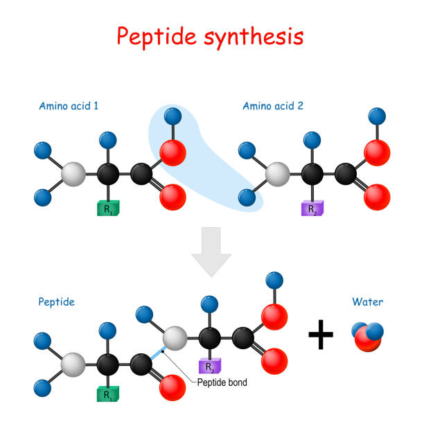 Peptide synthesis Peptide synthesis. Two amino acids combined into a peptide to form a water molecule and a peptide bond. Vector illustration for medical, educational and science use. peptide stock illustrations