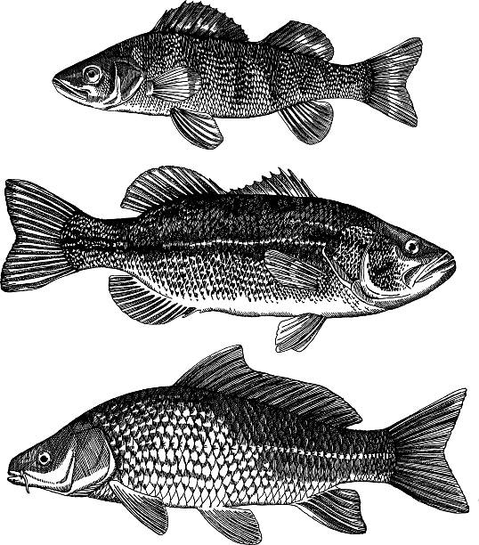 Perch, Bass, Carp Perch, Bass, Carp, very detailed ink drawing - vector illustration freshwater fish stock illustrations