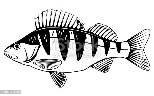 Realistic perch fish isolated illustration, one freshwater fish on side view