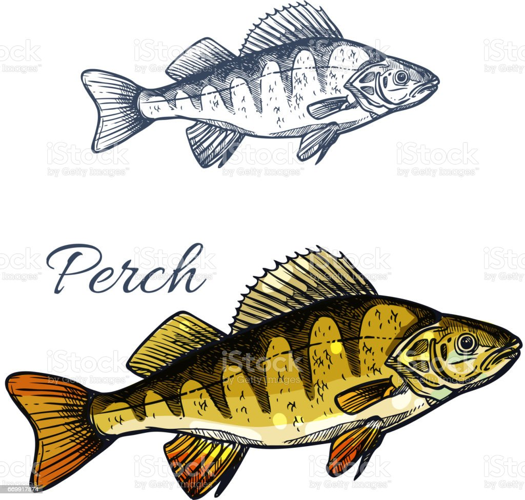 Perch Fish Isolated Sketch Of Freshwater Predator Stock Vector Art ...