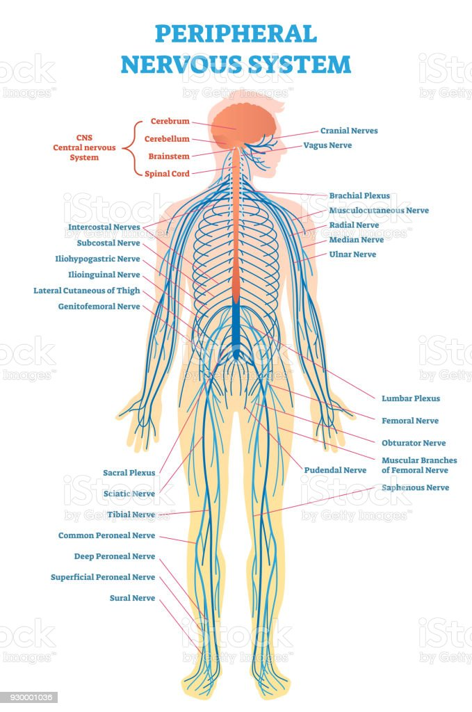 Full Body Nervous System Diagram - Application Wiring Diagram •