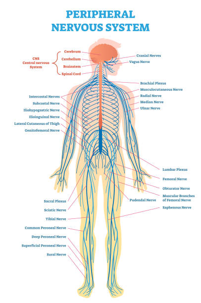 Peripheral nervous system, medical vector illustration diagram with full body nerve scheme. Peripheral nervous system, medical vector illustration diagram with brain, spinal cord and full body nerve scheme. medical diagram stock illustrations