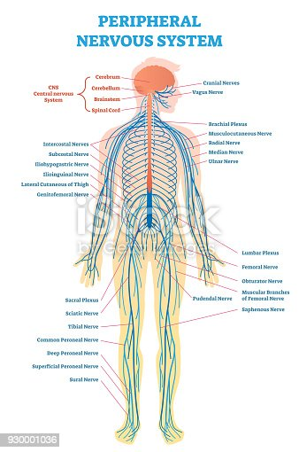 Peripheral nervous system medical vector illustration diagram with peripheral nervous system medical vector illustration diagram with full body nerve scheme arte vetorial de stock e mais imagens de anatomia 930001036 ccuart Gallery