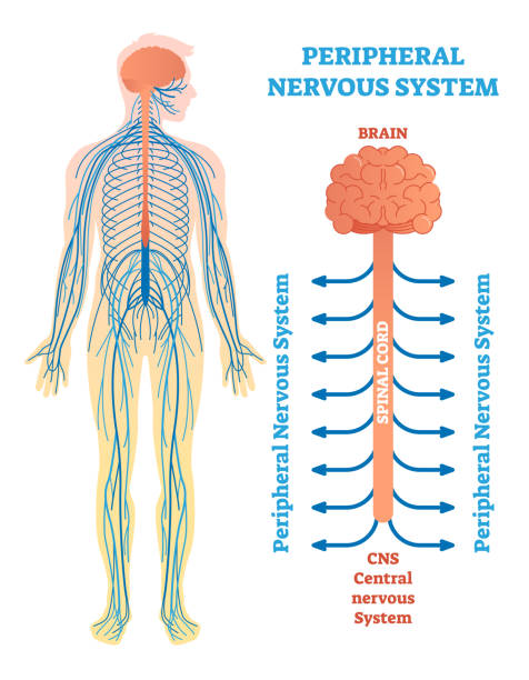 peripheren nervensystems, medizinische illustration zeigerdiagramm mit gehirn, rückenmark und nerven. - sensorischer impuls stock-grafiken, -clipart, -cartoons und -symbole