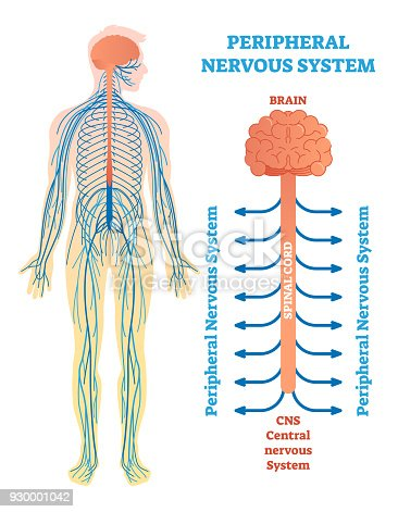 Peripheral Nervous System Medical Vector Illustration Diagram With ...