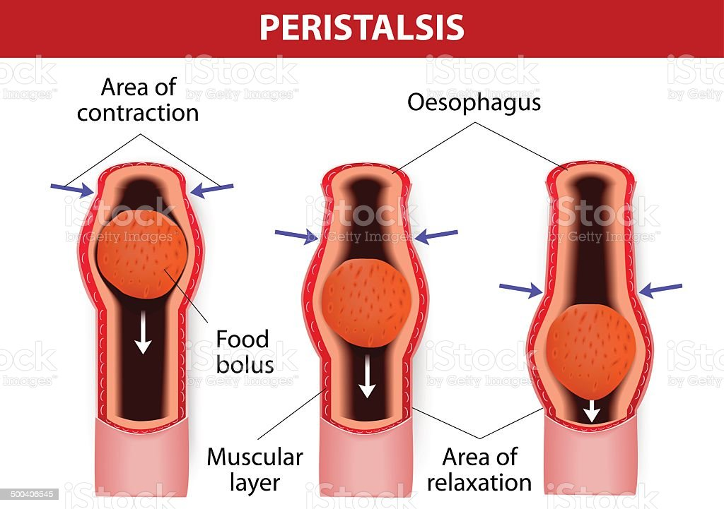peristalsis. involuntary wavelike muscular contraction. vector art illustration
