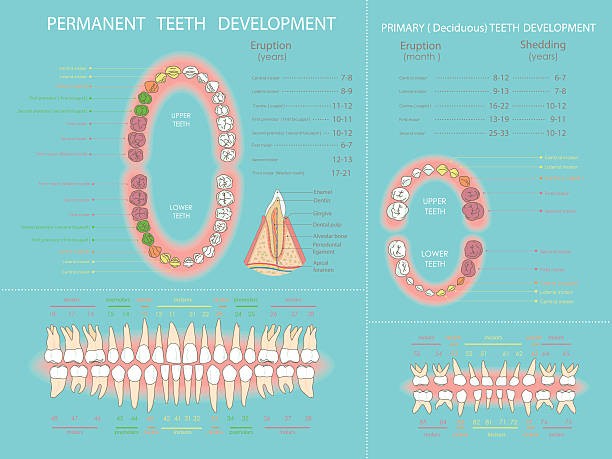 Royalty Free Baby Tooth Clip Art Vector Images Illustrations Istock