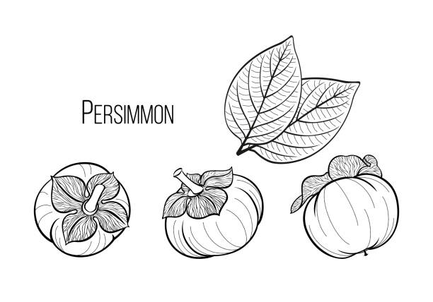 ilustrações de stock, clip art, desenhos animados e ícones de persimmon set, black graphic drawing with three fruits and leaves of a tropical plant. vector hand drawn illustration, calligraphic, isolated on background. - diospiro