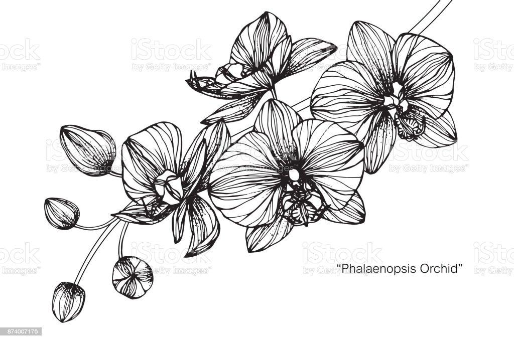 Orchid Flower Line Drawing : Flor de orquídea phalaenopsis desenho arte vetorial