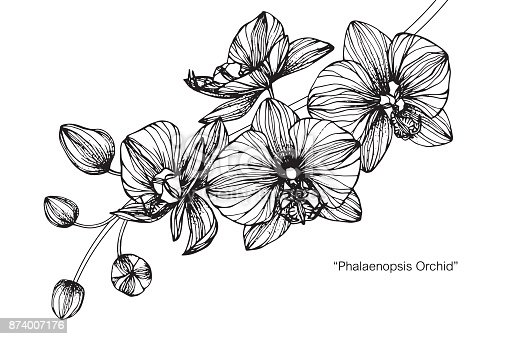 Hand drawing and sketch Phalaenopsis orchid flower. Black and white with line art illustration.