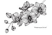 Phalaenopsis orchid flower drawing.