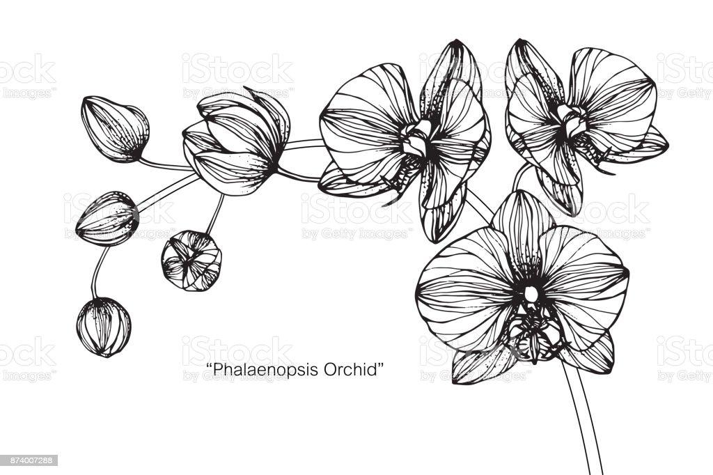Orchidée Phalaenopsis Fleur De Dessin Vecteurs Libres De