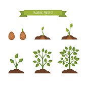Phases plant growth. Sprout in the ground.