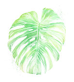 Philodendron Leaf in Watercolor and Ink Isolated on White