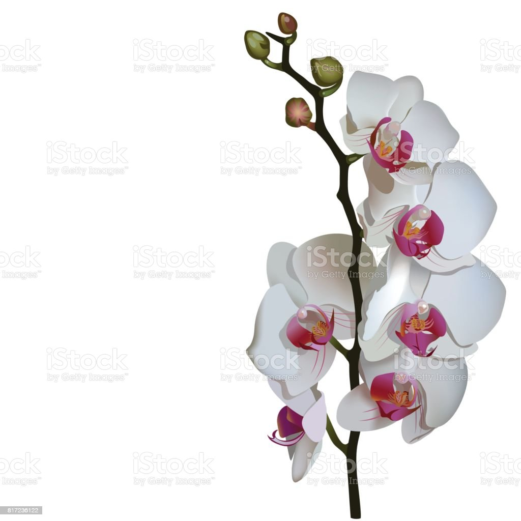 Photorealistic illustration of phalaenopsis, a branch of white flowers with pink center. vector art illustration