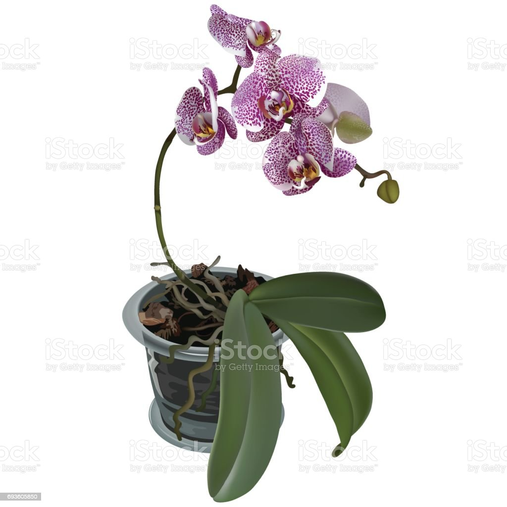 Photorealistic illustration of phalaenopsis at flower pot. Branch of lilac spotted flowers of orchid, leaves and roots. vector art illustration