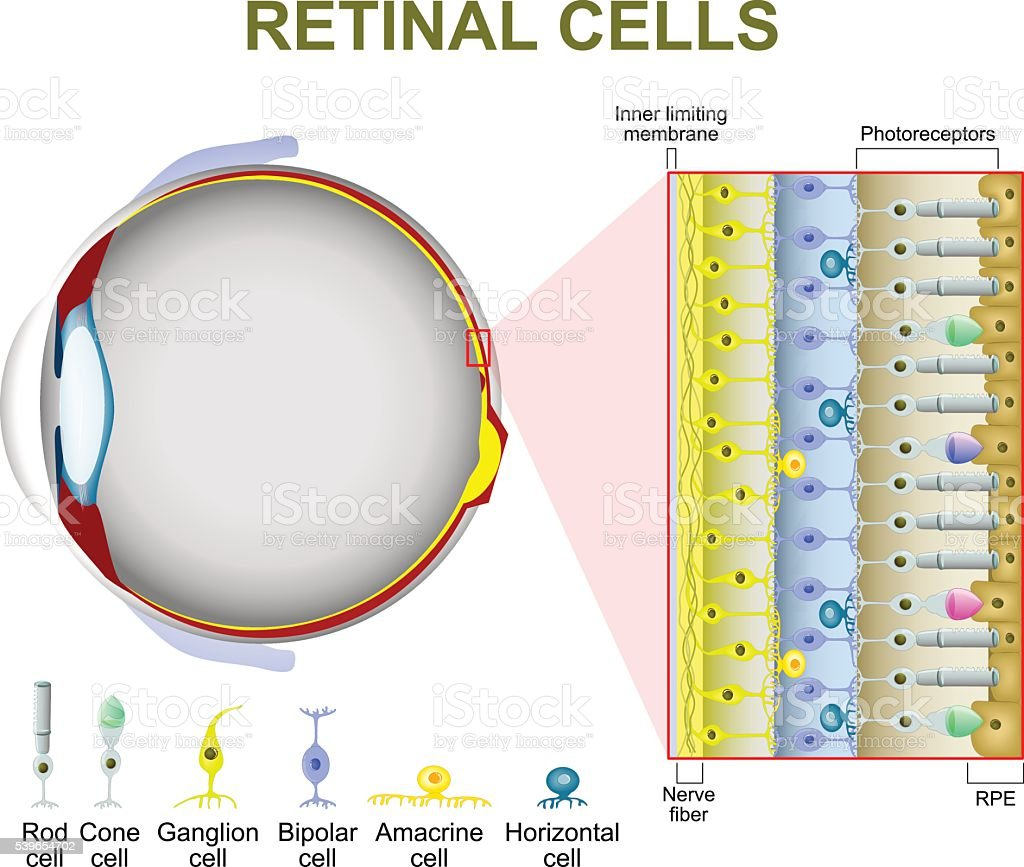 Photoreceptor Cells In The Retina Of The Eye Stock Vector Art & More ...