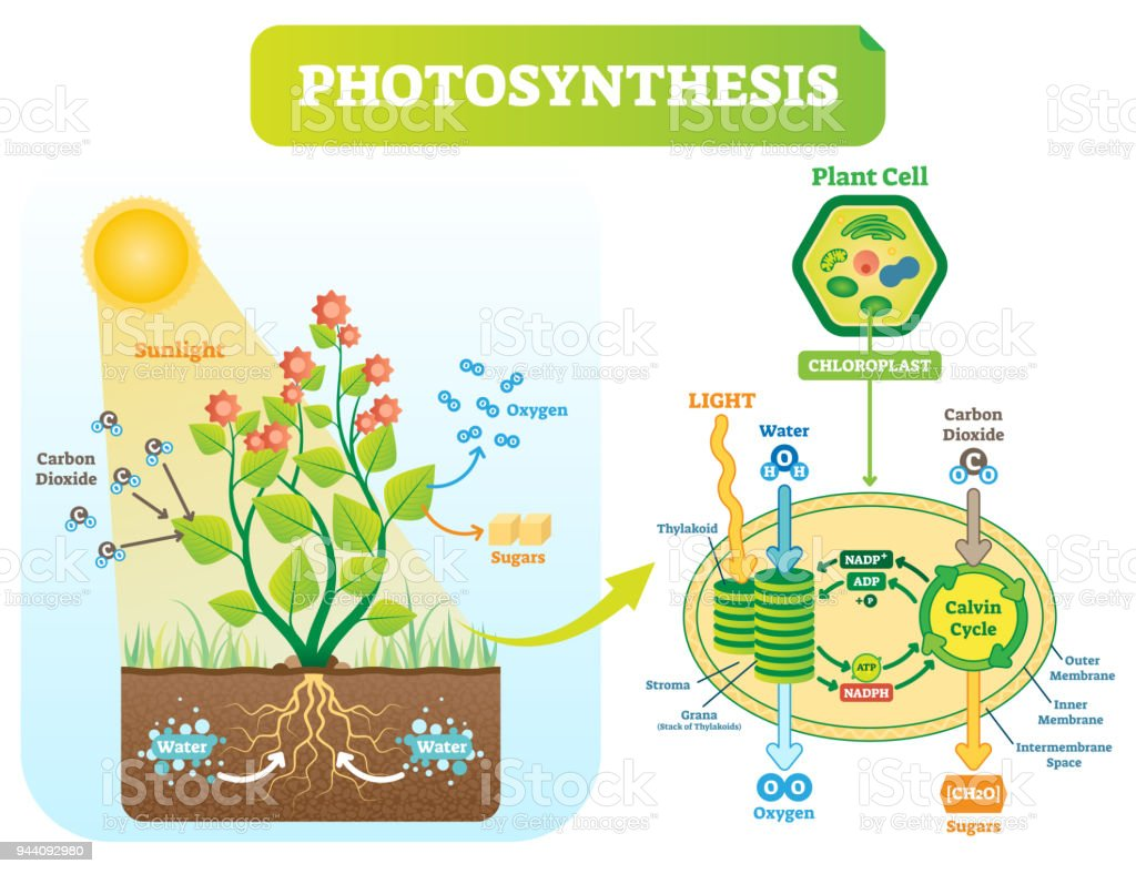 Photosynthesis biological vector illustration diagram with plan cell photosynthesis biological vector illustration diagram with plan cell scheme royalty free photosynthesis biological vector ccuart Choice Image