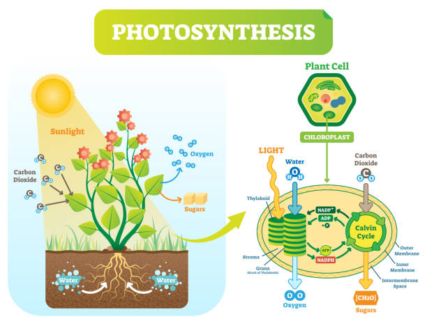 herbicide stop photsynthesis Due to the photosynthesis-inhibiting action of the stop hydrilla herbicides: the hydrilla task force is using two herbicides as part of the eradication program:.
