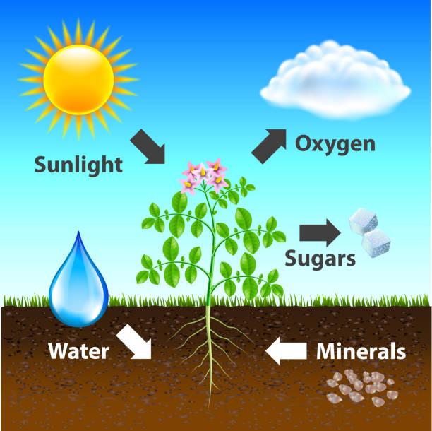 photosynthese diagrammhintergrund vektor - stoffwechsel stock-grafiken, -clipart, -cartoons und -symbole