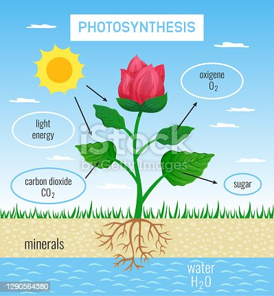istock Photosynthesis Educational Poster 1290564380