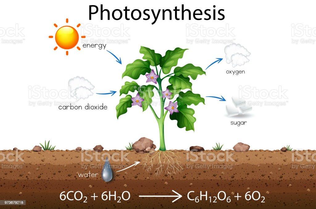 Photosynthese Erklärung Wissenschaft Diagramm Stock Vektor Art und ...