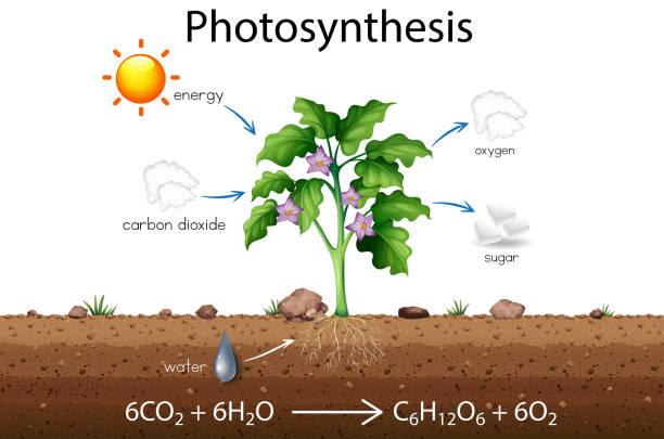 Photosynthesis explanation science diagram Photosynthesis explanation science diagram  illustration chlorophyll stock illustrations