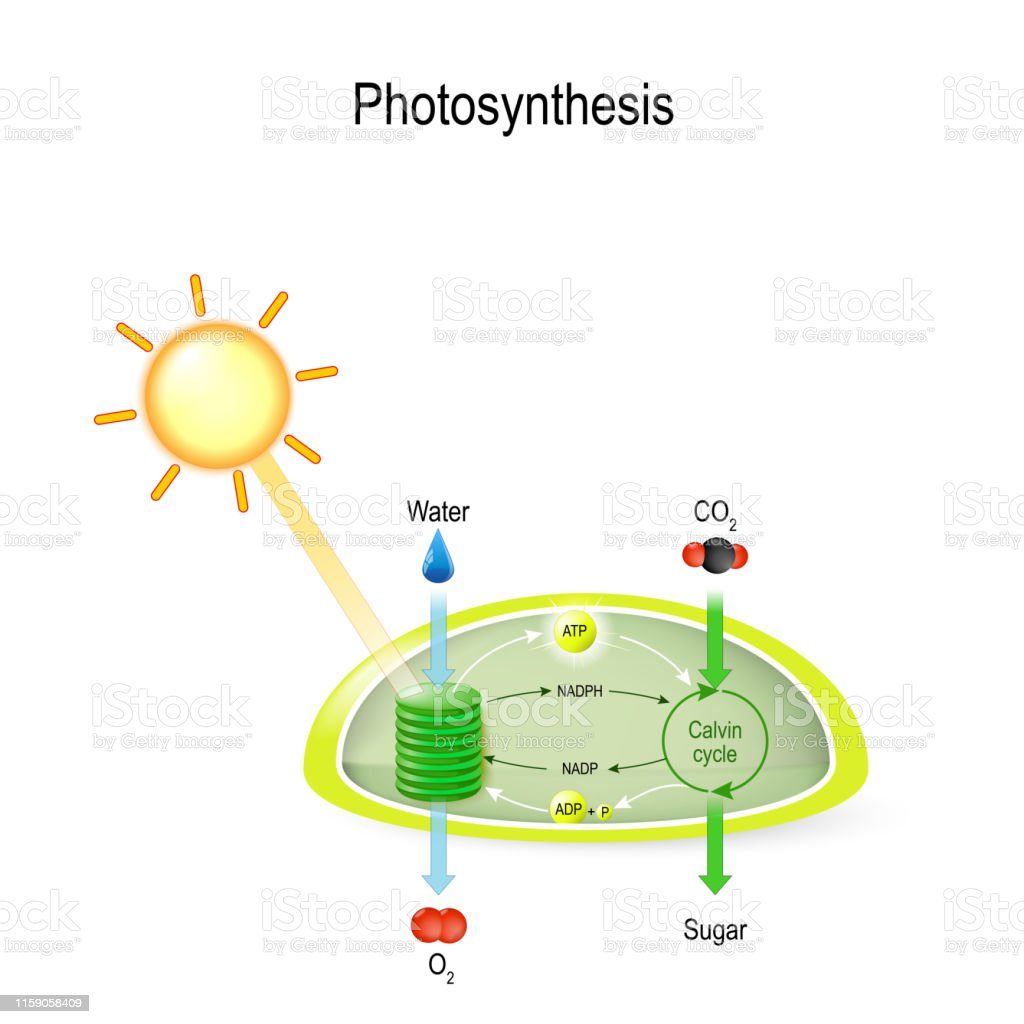Photosynthesis In A Chloroplast Stock Illustration