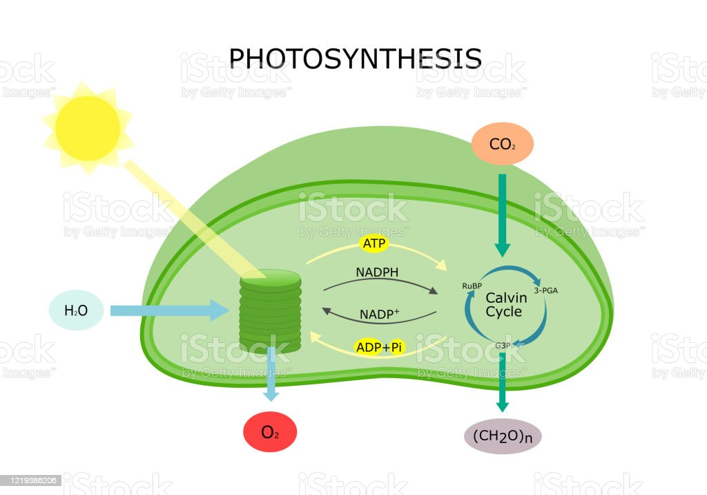 Photosynthesis In Plant Diagram Stock Illustration Download Image Now Istock The photosynthesis does not take place. photosynthesis in plant diagram stock illustration download image now istock