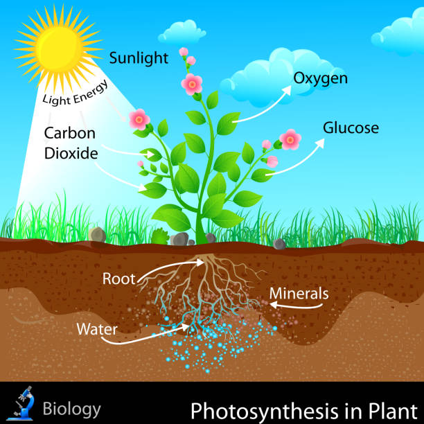 Royalty free photosynthesis diagram clip art vector images photosynthesis in plant vector art illustration ccuart Gallery