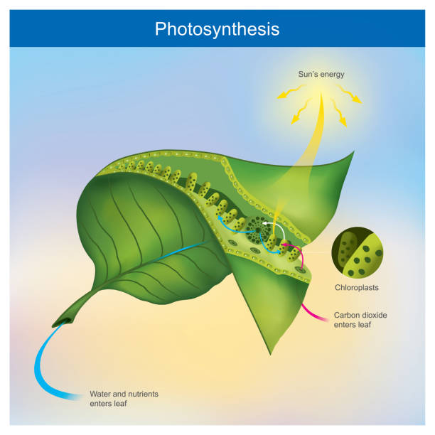 Photosynthesis is a process by plants and other organisms use to convert light energy into chemical energy. vector art illustration