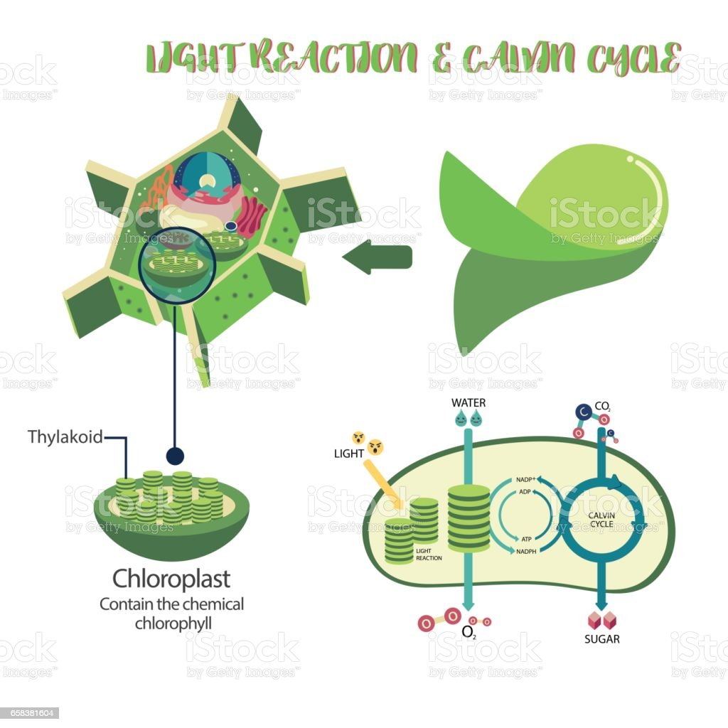 Photosynthesis plant cell diagram vector art illustration