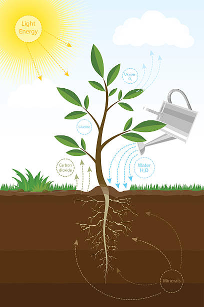 photosynthesis process in plant. biology scheme of photosynthesis for education. - stoffwechsel stock-grafiken, -clipart, -cartoons und -symbole