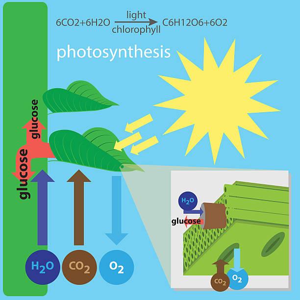 photosynthese prozess - stoffwechsel stock-grafiken, -clipart, -cartoons und -symbole