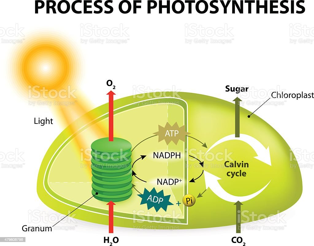 Photosynthesis in chloroplast diagram auto electrical wiring diagram royalty free photosynthesis diagram clip art vector images rh istockphoto com photosynthesis chloroplast diagram answers photosynthesis leaf diagram ccuart Image collections