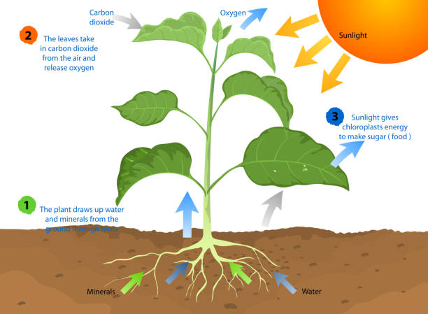 plant photosythesis How to explain photosynthesis photosynthesis, the most important reaction on earth, is the process by which plants make food a photosynthetic reaction involves carbon dioxide, water, and energy from the sun.