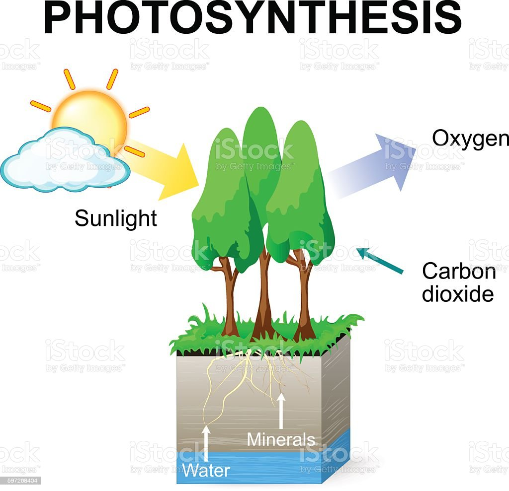 Tree photosynthesis diagram data wiring diagrams royalty free photosynthesis diagram clip art vector images rh istockphoto com evergreen tree diagram process of photosynthesis ccuart Gallery