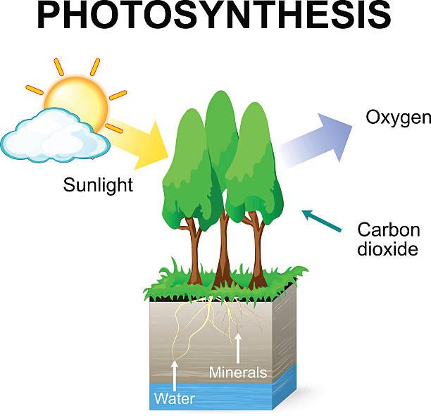 photosynthese - stoffwechsel stock-grafiken, -clipart, -cartoons und -symbole