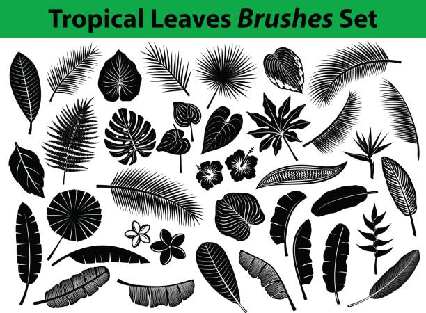 pical Exotic Leaves Silhouette Collection with some flowers in black color Tropical Exotic Leaves Silhouette Collection with some flowers in black color for your designs as Coconut, Fan, Banana Palm, Aralia, Alocasia, Monstera, Fern, Bird of Paradise, Plumeria, Heliconia, Hibiskus. All Leafs are included as BRUSHES in Library. frangipani stock illustrations