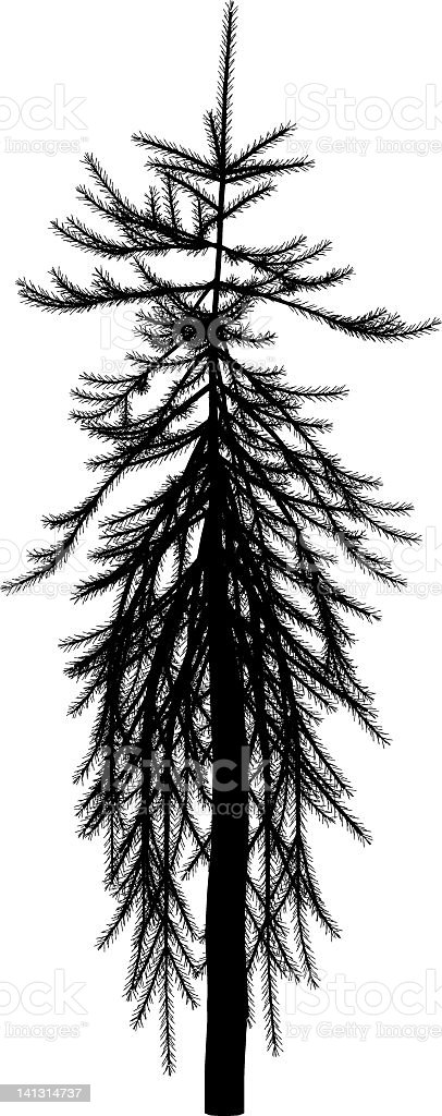 Picea abies royalty-free stock vector art