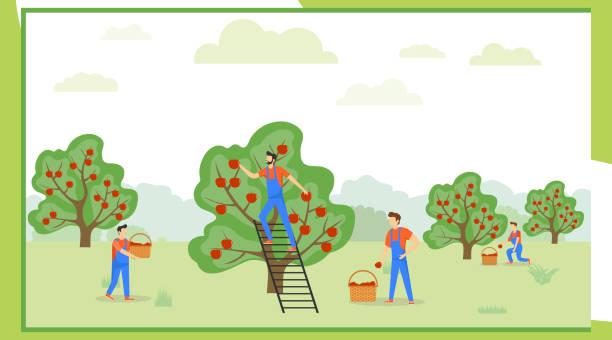 ilustrações de stock, clip art, desenhos animados e ícones de pick apples. a group of people in uniform are picking apples in an orchard. vector illustration of apple harvesting concept. - picking fruit