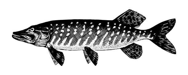 Pickerel, pike, luce, jack, Esox lucius. Fish collection Pickerel, pike, luce, jack, Esox lucius. Fish collection. Healthy lifestyle, delicious food. Hand-drawn images, black and white graphics. pike fish stock illustrations