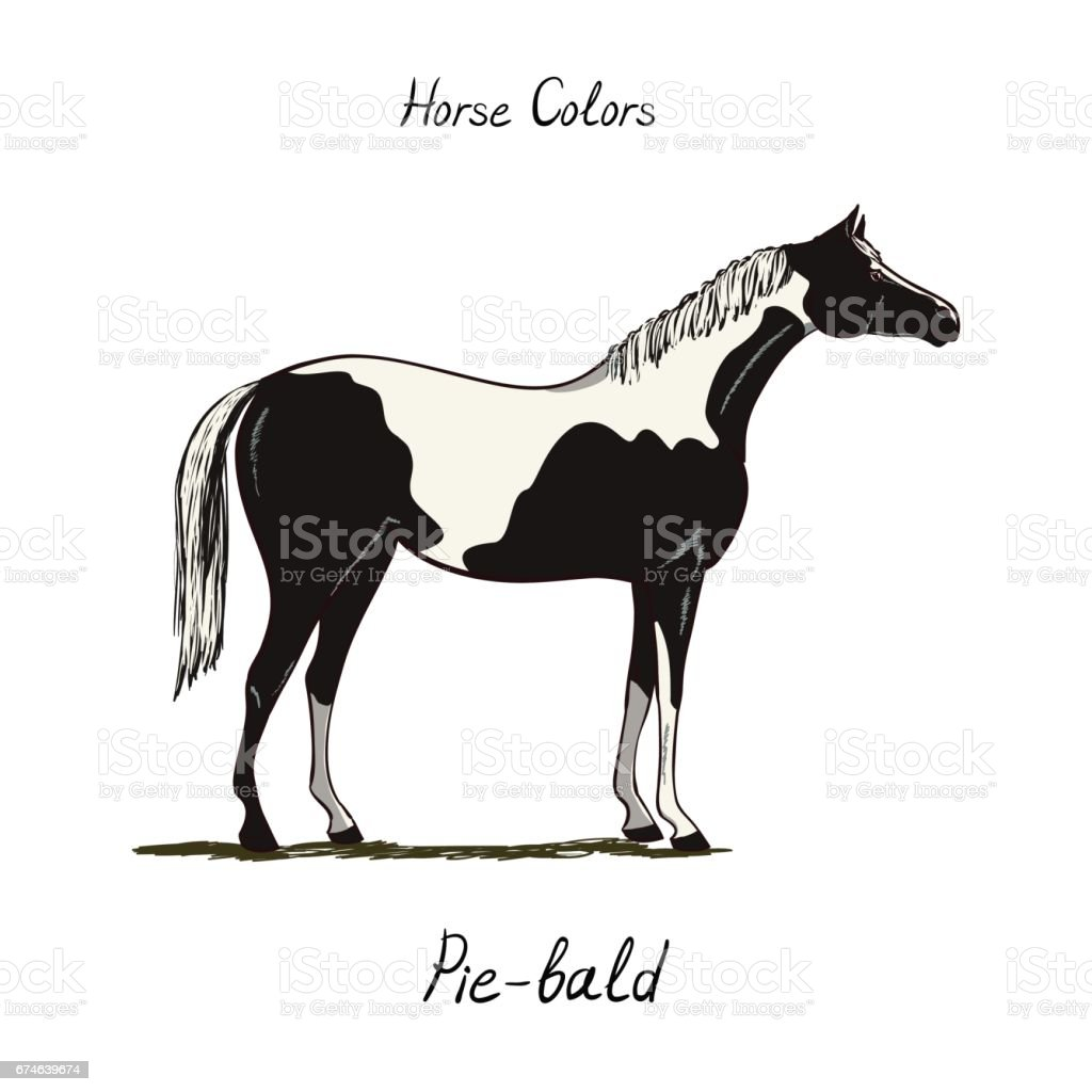 Piebald, skewbald, pinto horse color chart on white.  Equine coat colors with text. Equestrian scheme. Type of horse.