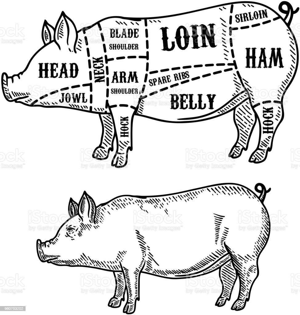 pig butcher diagram pork cuts design element for poster