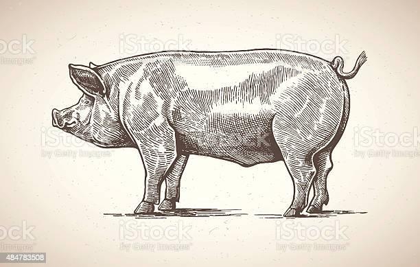 Pig in graphic image vector id484783508?b=1&k=6&m=484783508&s=612x612&h=i u5qm ant4ytx3yuvgblallxolgdab8jainsoegvqm=