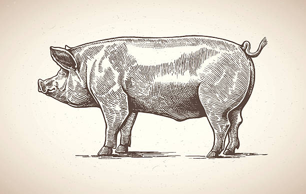 Pig in graphic image. Vector illustration of pig in graphic style. Drawing by hand. pork stock illustrations