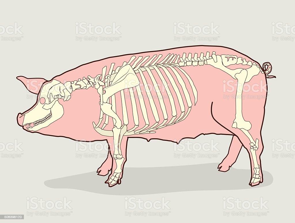 Schwein Skelett Zum Verkauf Schwein Skelett Anatomie ...