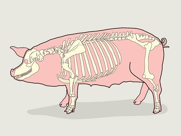 Pig Skeleton For Sale. Pig Skeleton Anatomy. Vector Illustration. vector art illustration