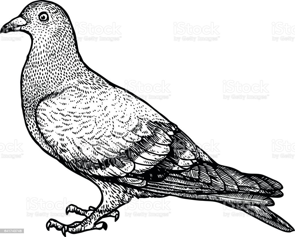 Pigeon illustration - photo#39