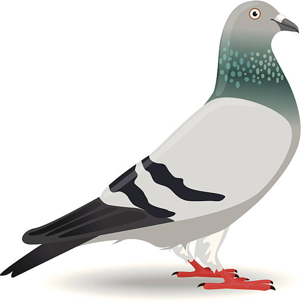 Pigeon or Dove Pigeon or Dove created by using Adobe Illustrator pigeon stock illustrations